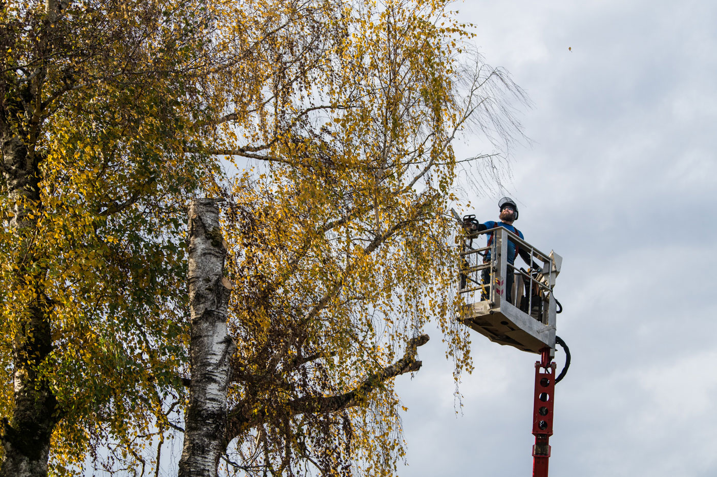 Tim Brewer Tree & Stump Service employee Derick Swain uses the spider lift to access a tree's canopy in Corvallis, Oregon.