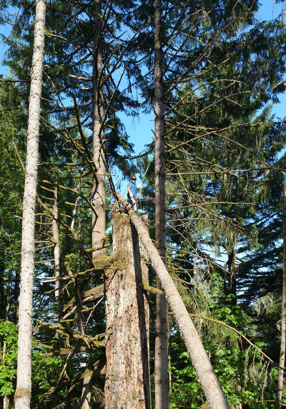 Climbing tall fir tree