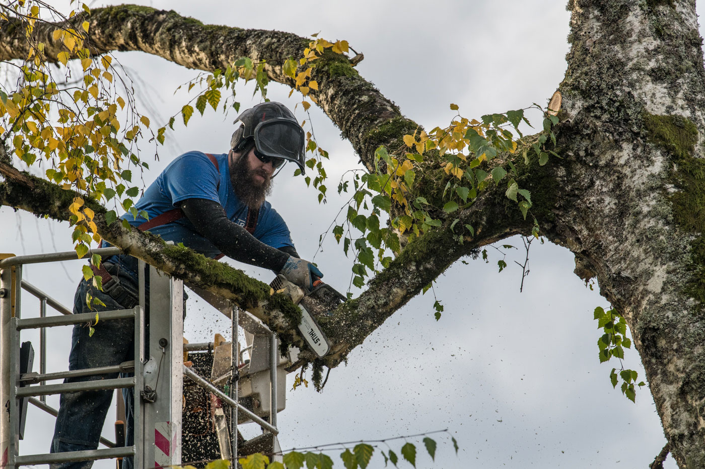 Tim Brewer Tree & Stump Service employee Derick Swain removes limbs from a tree in Corvallis, Oregon.